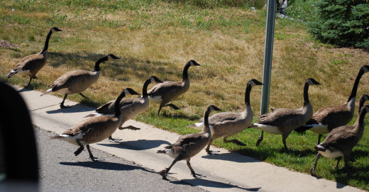 """Geese crossing road representing """"Gathering Items for Curation"""""""
